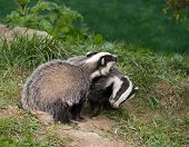 European Badger Cubs playing in English countryside poster