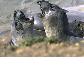 juvenile seals at play poster