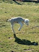 new born white lamb playing with it shadow poster