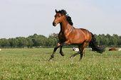 running chestnut horse poster
