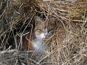 Red cat dreamin in heap of hay poster