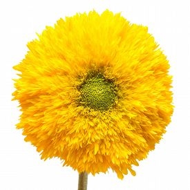 Flower. Sunflower Teddy Bear isolated on white background. Flat lay top view
