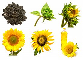 Collection of sunflower isolated on white background. Stages of growth of sunflower. Seeds sunflower closed. Blooming sunflowers