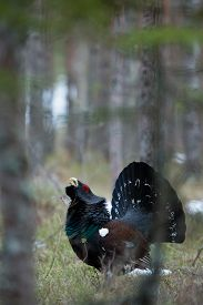 Western capercaillie (Tetrao urogallus), male bird in the forest.