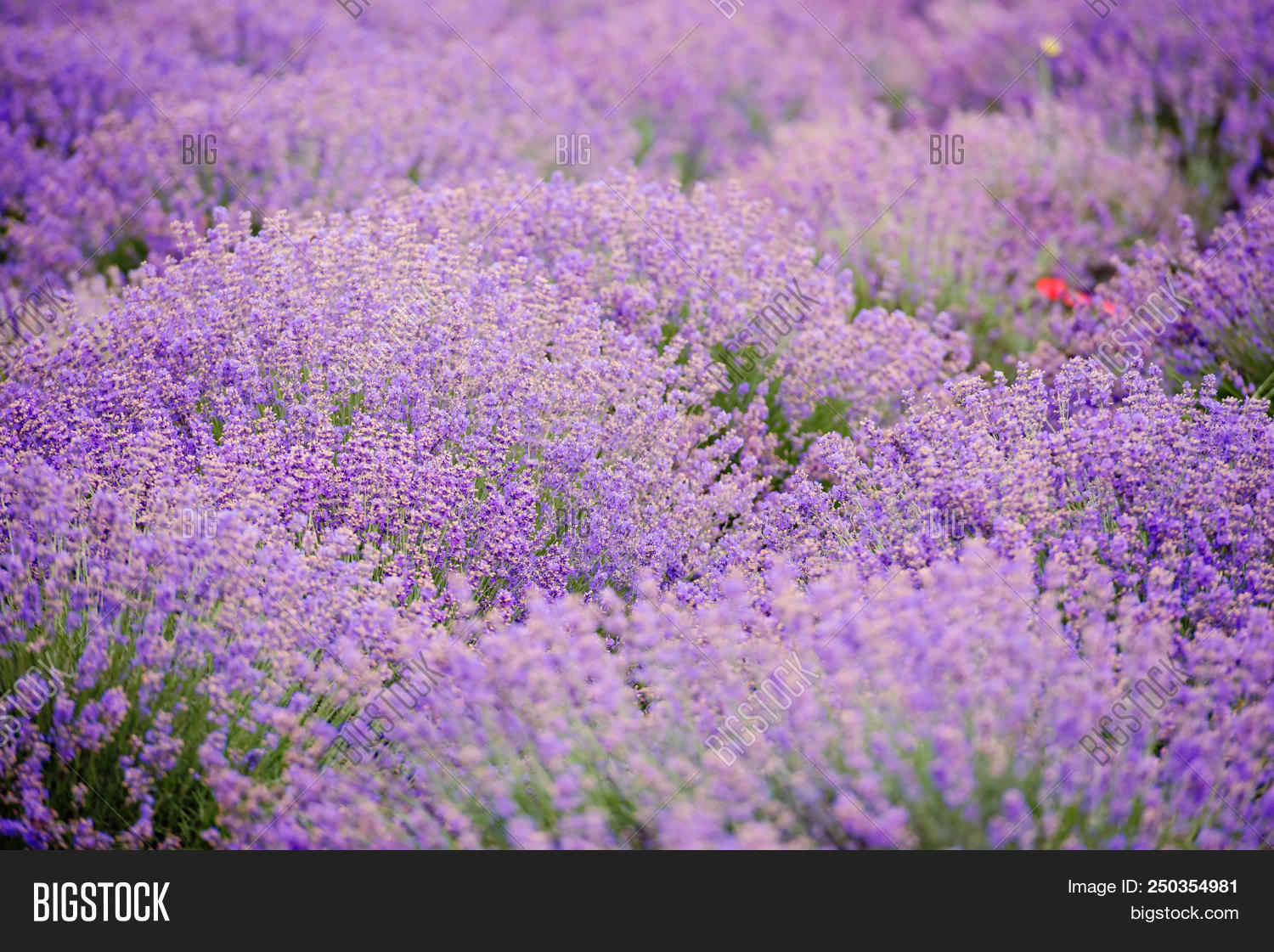Soft focus flowers image photo free trial bigstock soft focus flowers beautiful lavender flowers blooming izmirmasajfo
