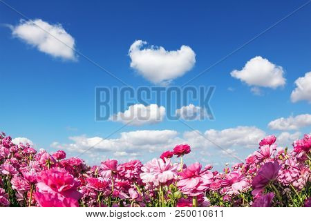 Cumulus clouds fly in the sky. Adorable pink garden buttercups - ranunculus bloom on a farm field. Cloudy and windy day in May. Concept of ecological tourism
