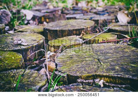 Stump Pathway With Green Moss On Old Wooden Stumps.