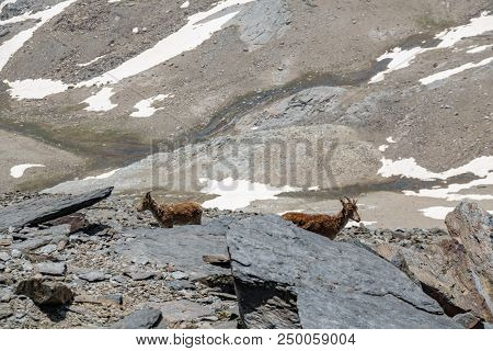 Mountain Goats Side By Side Behind The Rocks Over Mountain Peak With Snowfields In The Background