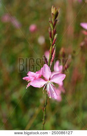 Pink Gaura - Latin Name - Oenothera Lindheimeri Siskiyou Pink (gaura Lindheimeri Siskiyou Pink)