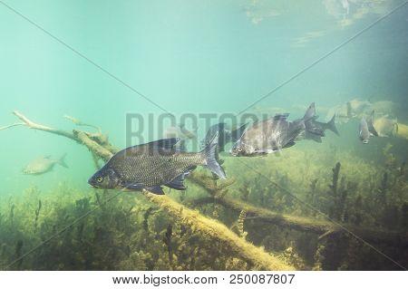 Underwater Photography Of Carp Bream (abramis Brama). Beautiful Fish In Close Up Photo. Underwater P