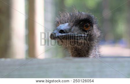 Closeup Emu Bird With Face Over Wood