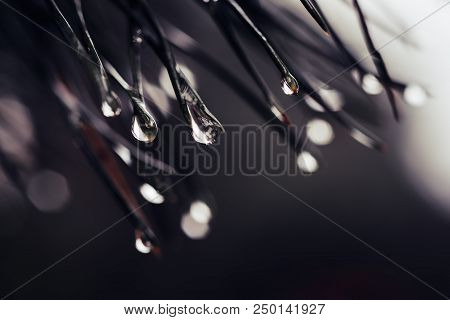 Abstract Background From Conifer Evergreen Pine Tree Branches With Dew Water Drops, Natural Outdoor