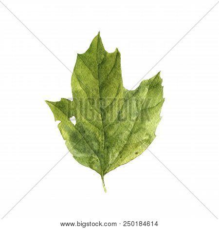 Watercolor Drawing Green Leaf Of Cranberrybush, Painted Botanical Illustration, Hand Drawn Floral El