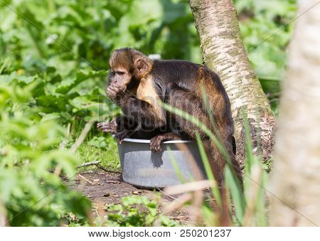 Golden-bellied Capuchin (cebus Xanthosternos)