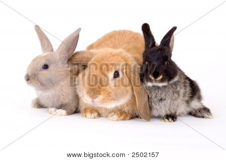 three bunny isolated on a white background poster