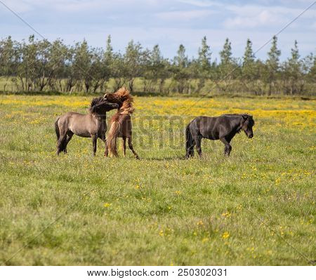 Three Icelandic Horses Playing In A Field