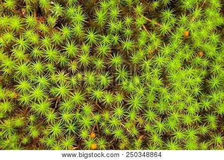 Polytrichum Commune Common Haircap Moss, Star Moss.