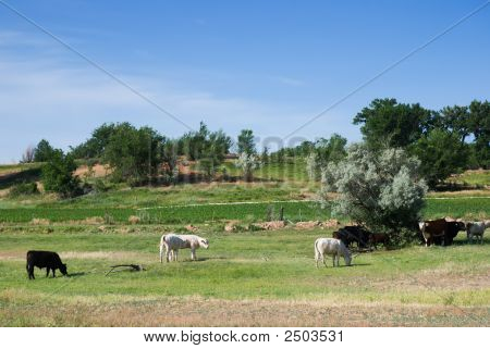 Cattle gather under a tree in a beautiful green pasture in early summer in western Colorado poster