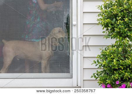 Golden Cocker Spaniel Eyeing A Damaged Screen Door Opening Onto An Exterior Patio Standing Inside Sn