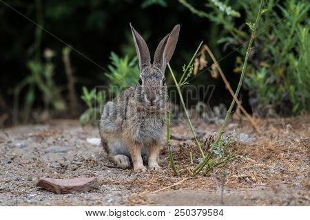 Cotton Tail Rabbit Eating Foilage Along The Ground While Surviving Along The California Coast.