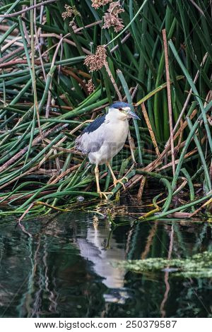 Common Tern Marine Bird Perched In Shore Reeds Along With Pond Reflection In Water.