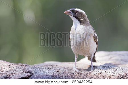 White Browed Sparrow-weaver Drinks Water From A Waterhole In The Kalahari Desert
