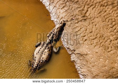American Crocodiles Resting Under The Sun In Tarcoles River, Costa Rica.  Photo Taken Over The Croco