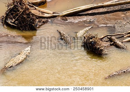 American Crocodiles Resting Under The Sun In Tarcoles River, Costa Rica. Photo Taken Over The Crocod