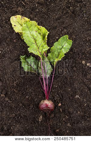 Raw Beet. Fresh Beet On The Soil. Fresh Beet On The Soil Background. Beet With Stem