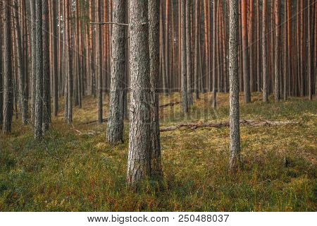 Trunks Of Pine Trees In A Pine Forest In Summer, Natural Background