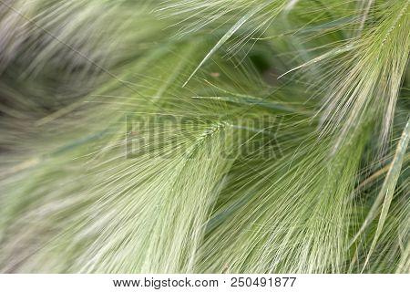 Spikes Of Foxtail Barley (hordeum Jubatum)