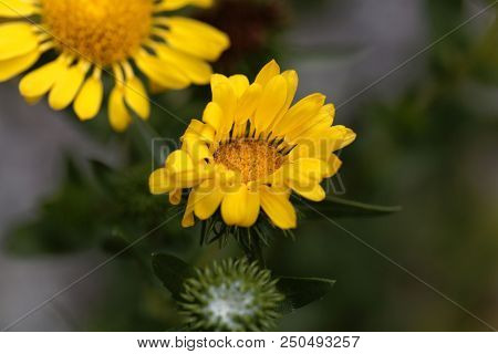 Flower Of A Hairy Gumplant (grindelia Hirsutula)