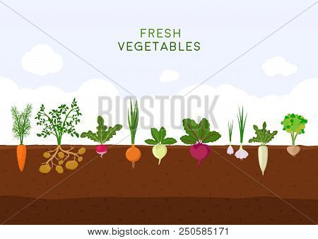 Fresh Organic Vegetable Garden On Blue Sky Background. Garden With Different Kind Root Veggies. Set