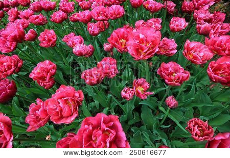 Beautiful Pink Tulips Close Up On A Sunny Day