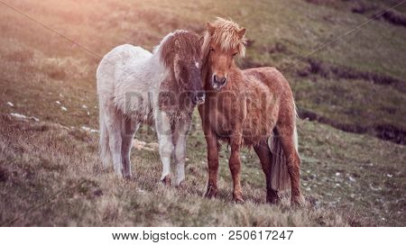 two faroese horses cuddling on a green hill on the faroe islands