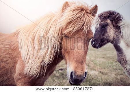 two faroese horses standing against the sun on a green hill on the faroe islands