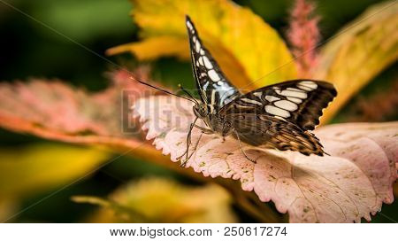 macro shot of a tiger striped longwing butterfly, heliconius ismenius, sitting on a leaf