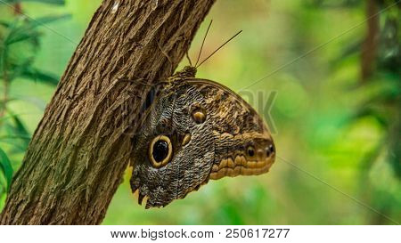 Saturnia pyra Butterfly with closed wings sitting on a tree