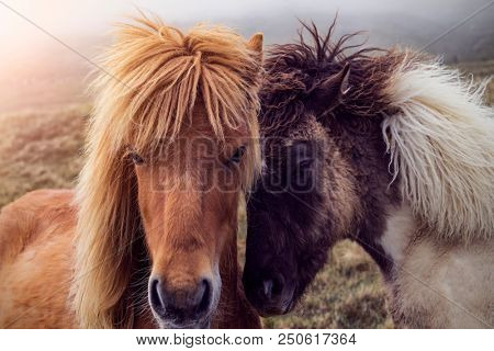 close up of two faroese horses on a foggy hill on the faroe Islands