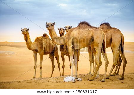 A herd of wild camels in the desert near Al Ain, UAE