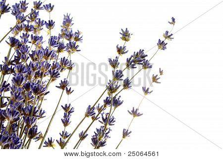 Detail of lavender flower