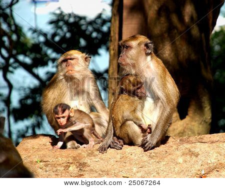 Monkey breast feeding