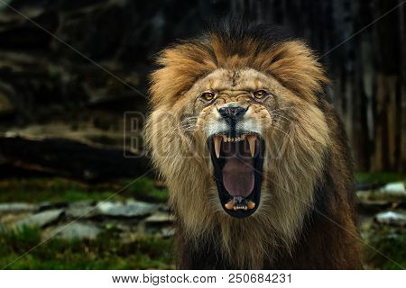 The Berber Lion With Open Mounth. Photo From Live Animal On Wthe World.