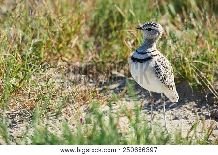 Double-banded Courser (rhinoptilus Africanus), Also Known As The Two-banded Courser Is An African Bi