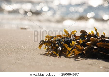 Brown Seaweed. Health Food Concept. Stock Photo.