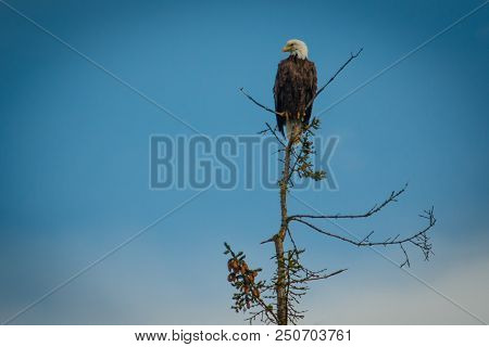 Bald Eagle Sitting On Tree And Looking For Prey, Alaskan Bald Eagle