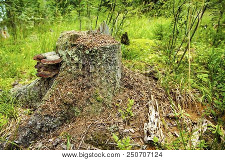 A Young Anthill On An Old Stump. On The Stump Grow Mushrooms.