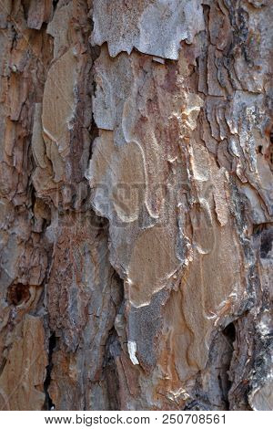 Bark of Pine Tree