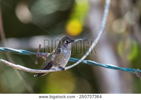 Adorable Hummingbird Perched On Branch Hanging Over Barbed Wire Strand.