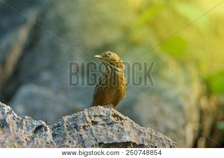 Limestone Wren-babbler, Rufous Limestone-babbler